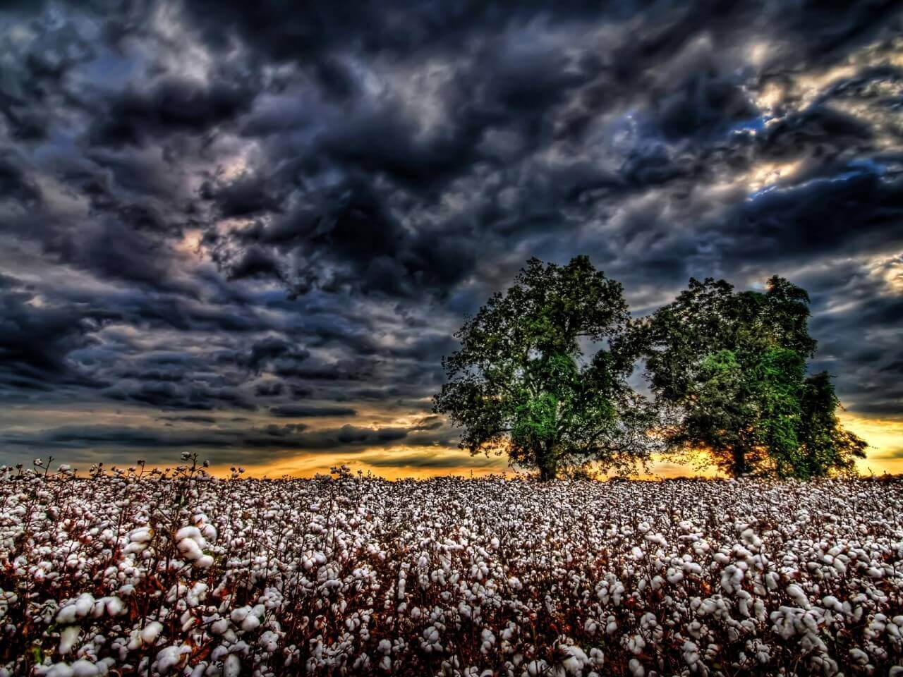 ABD'den pamuk ithalatı