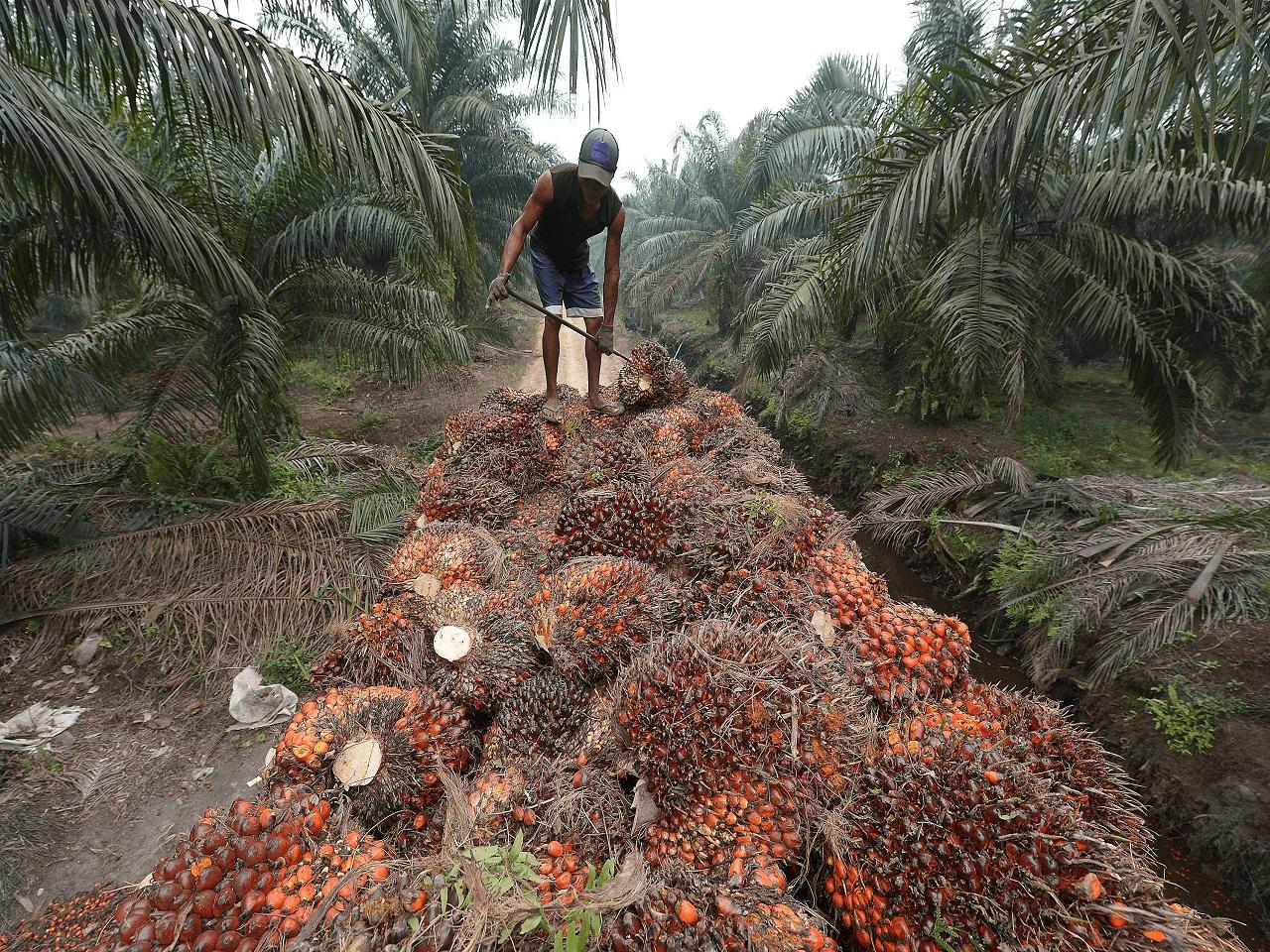 Malezya AB'nin Palm Yağı Önlemlerini DTÖ'ye Taşıdı