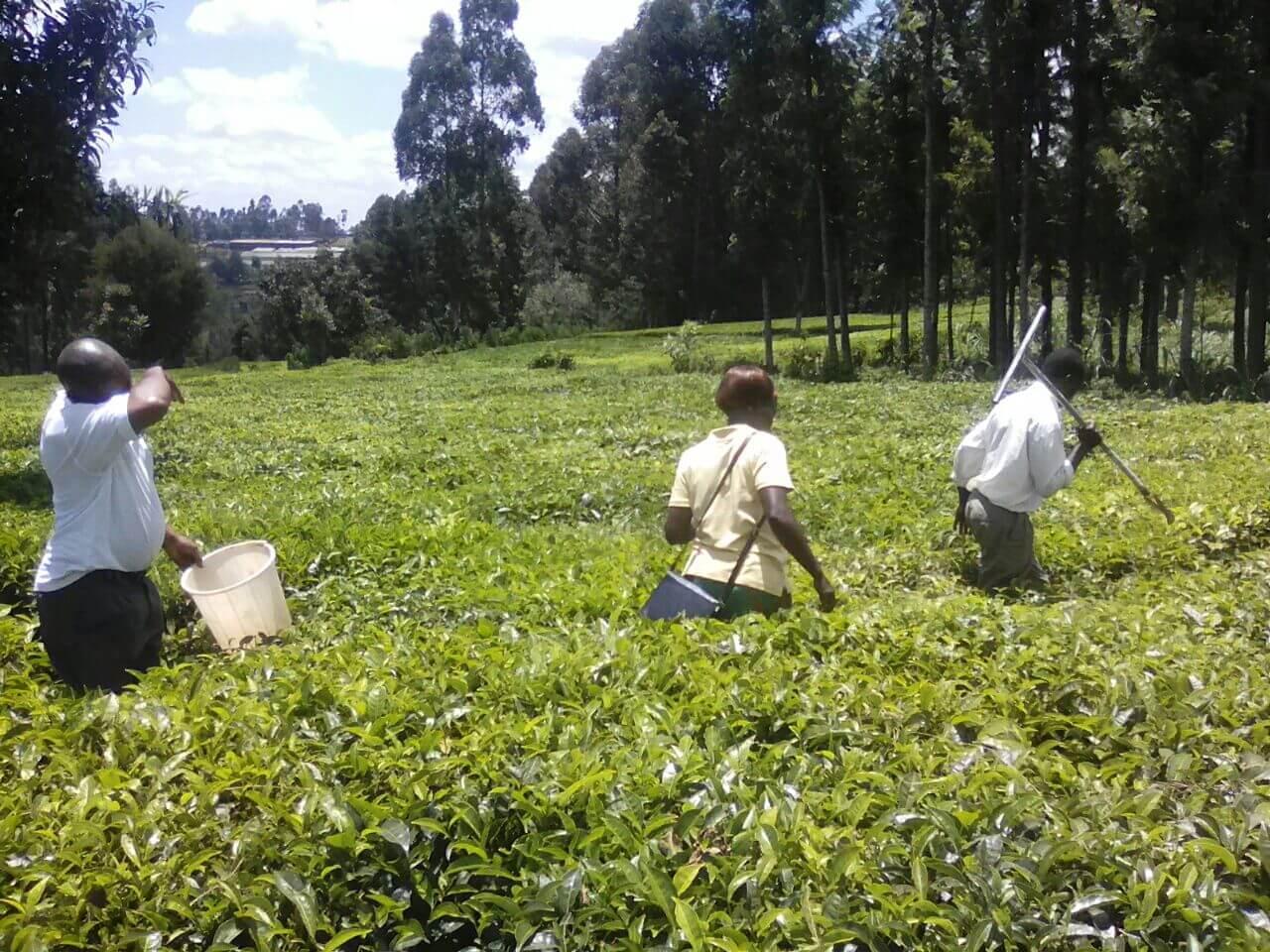Kenya Türkiye'nin Çay İthalatındaki Yüksek Tarifeleri İndirmesini İstiyor