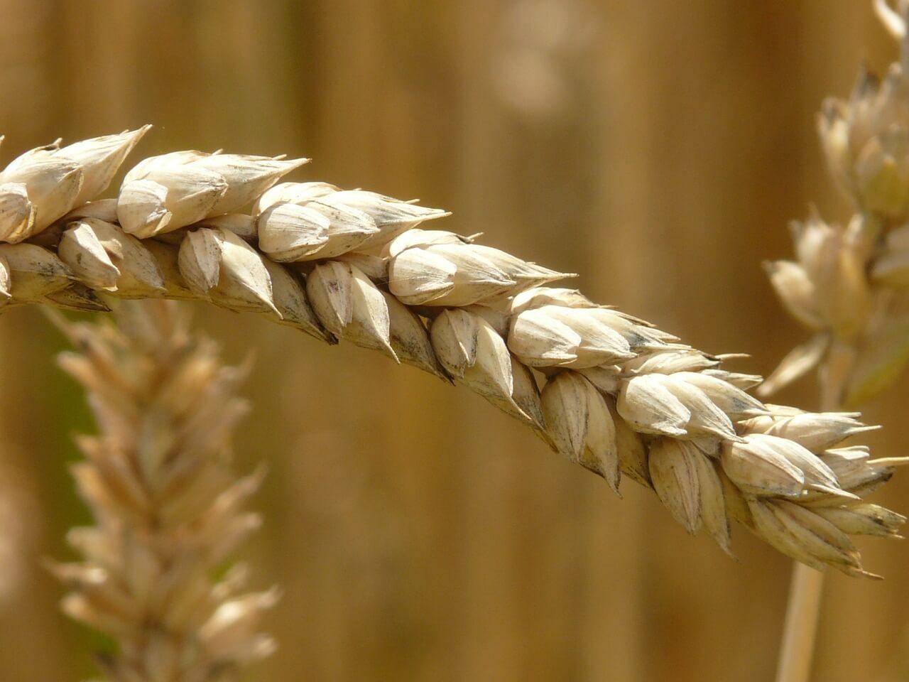 Rusya Buğday İhracatındaki Sıfır Gümrük Uygulamasını Devam Ettirme Kararı Aldı
