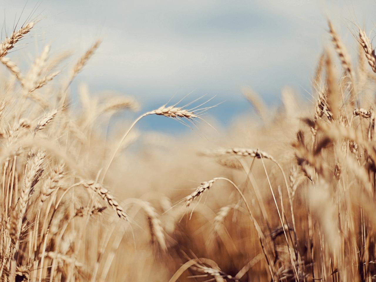 Buğday ve Mahlut İthalatındaki Tarife Kontenjanı Artırıldı