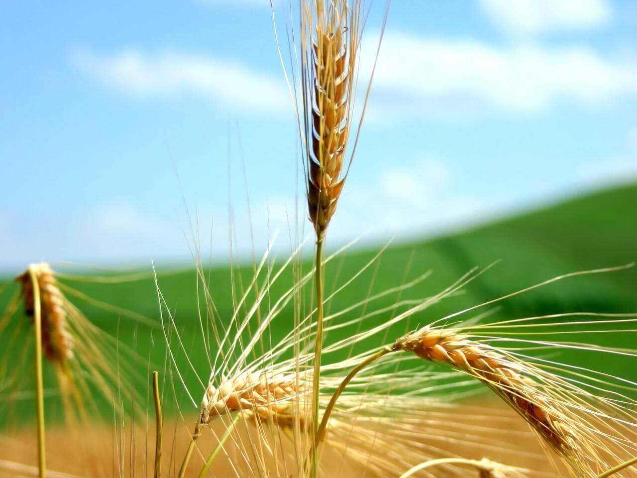 Buğday Dış Ticaretindeki Gelişmeler